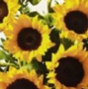 allsunflowers