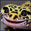 The Smiling Gecko