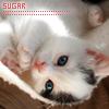 cosmic: Cat: Sierra sugar