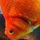 Fatty Goldfish