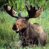 colonel_moose