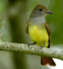 Great Crested Flycatcher!