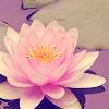 Dominka: lotos