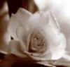 Елена Фамова: роза