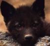 pup, black, wolf
