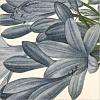 Dark Flowers (P.J. Redoute)
