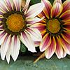 smiling daisies