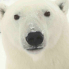LJ Polar Bear