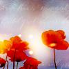 Poppies Aglow