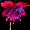 fuschia flower