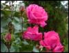 розы о памяти