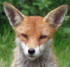 peaceful_fox userpic