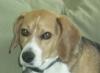 Oscar the Beagle