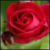 pic#17-rose