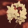 perfume - paperwhites