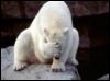 facepalm polarbear