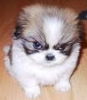 Angry Puppy