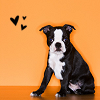 Dog Icons - Boston Terrier