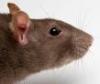 rat_food userpic
