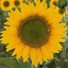 sunflower_girly userpic