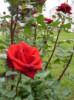 Роза из Юрьево