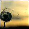 scene: dandelion