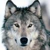 a_wolf_u
