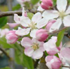 trystings: apple blossom