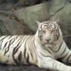 beliy_tigr userpic