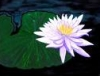 night_lotus