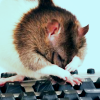Busy Rat