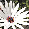 a rearranger of the proverbial bookshelf: Flower - white daisy
