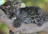 gepardbaby