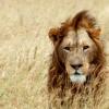 Lion is Fierce