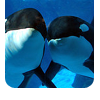 Animals-Orca_friends