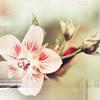 Счастливица-унца унца дрицаца: лилия другая