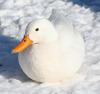 Cheezey: Duck