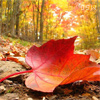 red_maple_tree userpic