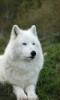 white wolf, wolf