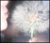 dandelion, me