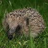 Anita: hedgehog