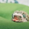 tiny hedgehog retuuuurns!