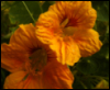 golden nasturtiums