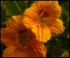 golden nasturtiums