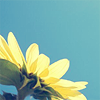 .: sunflower
