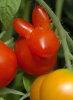 Tomato Rabbit
