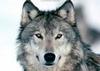 Argus-Wolf