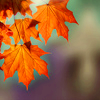 byslantedlight: Slanted autumnleaves (justlook3)