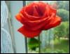 роза благдарности