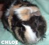 Guinea Pig: Chloe